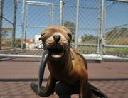 A sea lion pup treated at CIMWI last year