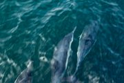 Dolphins spotted on the way to Santa Cruz Island