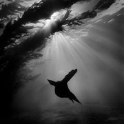 """""""Winged Angel"""" from the collection of underwater photography in the book <em>Silver Seas</em> by Ernie Brooks"""