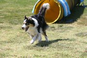 Dog Agility Trial