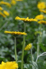 Gerbra daisies grow in an Ocean Breeze Nursery greenhouse