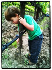 The author's son Mason helps thin shoots at Ampelos Vineyard in the Sta. Rita Hills.