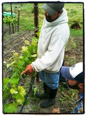 Andres Lerena teaches Giuseppe Bonfiglio about how to thin the shoots of emerging grapevines.