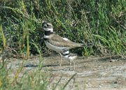 Adult Killdeer with chick.
