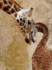 Though she wasn't his mother, Sulima bonded with Daniel, born in January 2011. This photo was taken in March 2011 when Daniel was three months old.