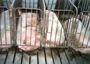 Gestation crates