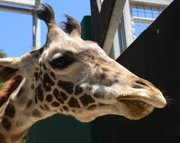 Daniel the giraffe. The lump in his lower left jaw can be seen in this recent photo.