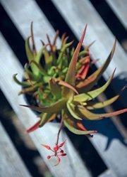 <i>Aloe forbesii</i>