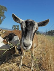 Goats on Jonata's two-acre organic farm.
