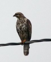 Juvenile gray hawk perched on a power line in Carpinteria