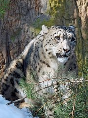 Snow Leopard Festival at the S.B. Zoo