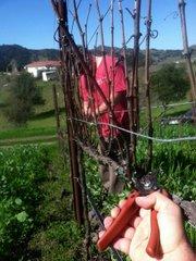 Pruning Ampelos vines.