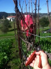 Pruning Ampelos vines.