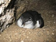 The Scripps's murrelet, which is slightly smaller than a robin, nests in pebbly alcoves and rocky crevices.
