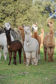There are two kinds of alpacas ​– ​suri and huacaya. Suris have long, ropy locks that are silky smooth; huacayas' fleece is short, dense, and woolly, giving them a poofy look.