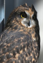 Ojai Raptor Center is home to myriad taloned birds, such as this short-eared owl, Flame.