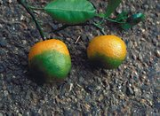 The disease causes fruit to remain green and bitter.