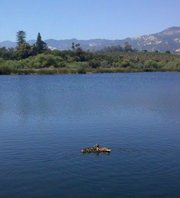 The duck family on Lake Los Carneros