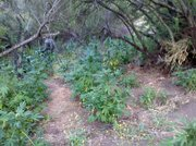 Marijuana plants growing in Montecito
