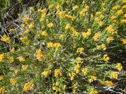 Gorse on Mt. Pinos