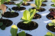 A young plant sits in an aquaponic raft