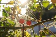Tomatoes grow in the Santa Barbara Aquaponics system