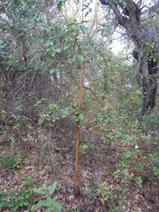 Pacific madrone tree  <em>arbutus menziesii</em>