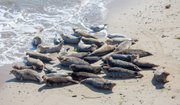 One of the key concerns was protraction of the Naples seal haul out area, shown here in a recent picture.