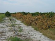Trees in Florida killed by Huanglongbing