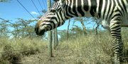 A plains zebra in front of the Kenya Long-Term Exclosure experiment.