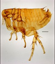 Male rat flea (Xenopsylla sarodes).