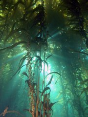 Sunlight shines through kelp forest canopy off the Santa Barbara coastline.
