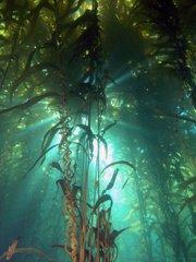 Sunlight shines through kelp forest canopy off the Santa Barbara coastline.