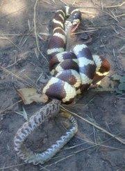 A California king snake devours a rattlesnake on Nine Trails' Buena Vista Trail.