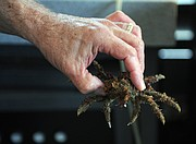 A decorator crab