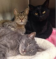 PeeWee, Angel, and Inky are a special trio of cats awaiting adoption.