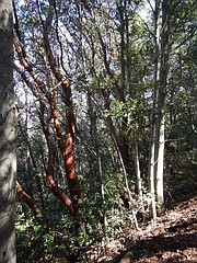Red madrones and rare white alders along the trail.