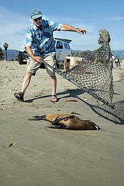 <b>A FINE ART:</b>  Previous generations of sea lion trappers used lassos and clubs in their quest to supply zoos and circuses. By contrast, Peter Howorth is quick, definite, and decidedly gentle in his approach.