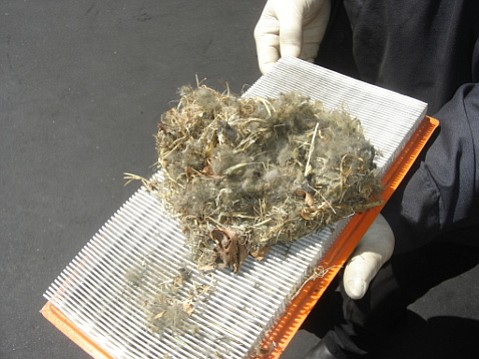 Attracted by engine heat and tempting smells, mice and rats often make nests in auto air filter ducts.