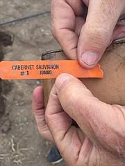 A 40-year-old cabernet sauvignon vine tag.