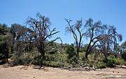 San Diego County oaks dead of beetle infestation.