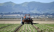 Farm workers in Guadalupe, CA. (May 15, 2015) .