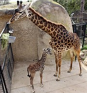 Asha (left) and her mother Betty Lou (right), who is expecting a calf late this summer at the Santa Barbara Zoo.