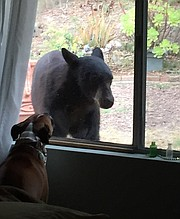 Councilmember Paula Perotte's dog Apollo barks at the bear outside their Goleta window.
