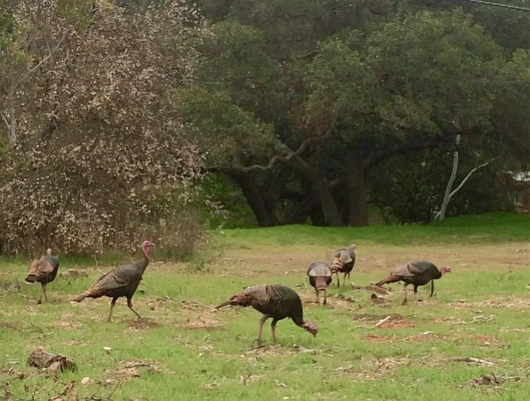 A flock of wild turkeys near Paradise Road