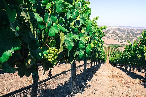Colson Canyon Vineyard's grenache vines