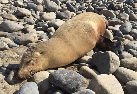 The Channel Islands Marine and Wildlife Institute is getting more than 100 calls a day reporting sick and dead sea lions on area beaches.