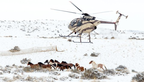A Bureau of Land Management contractor's helicopter pursues wild horses at the Frisco Horse Management Area in Utah in January.