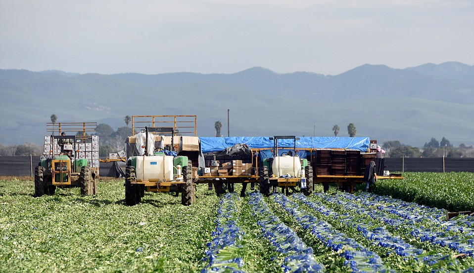 Here, celery is harvested and made ready for market. But last year, farm labor shortages forced growers to let $13 million worth of their crops go unpicked, left to rot in the fields.