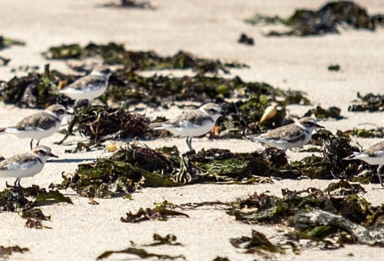 Western snowy plovers feed on the small invertebrates that depend on kelp wrack.